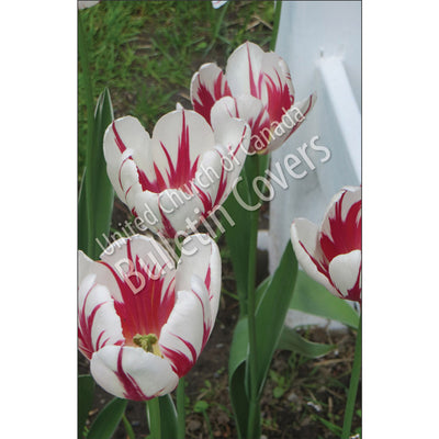 Bulletin: Canada 150 Tulips (Package of 50)