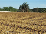 巴西 科索農園 紅卡兔艾 去果皮日晒<br />Brazil Agropecuária Conesol Farm R-Catuai Pulped Natural
