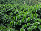 <p>哥倫比亞 涼亭莊園 水洗<br/>Colombia Finca Mirador Washed
