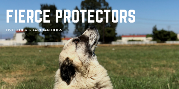 Fierce Protectors - the LGD's