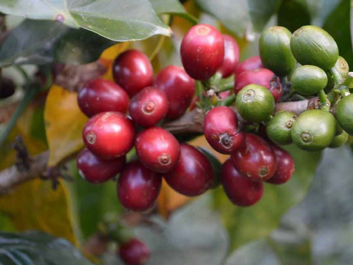 Biodynamic Coffee