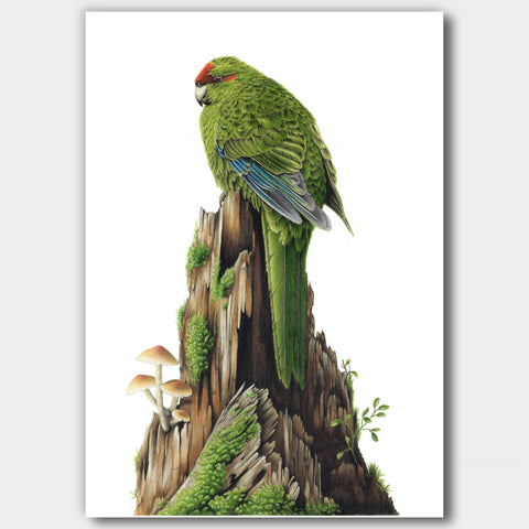 Red-Crowned Kākāriki / Parakeet