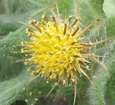 Blessed Thistle leaf