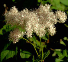 Meadowsweet leaf & flower
