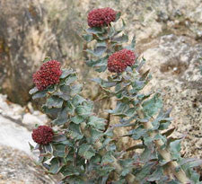 Rhodiola root