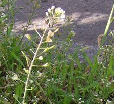 Shepherd's Purse herb