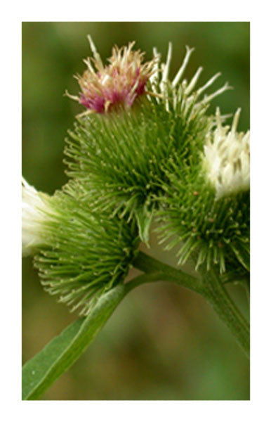 Burdock root 2 oz. Bulk Herb