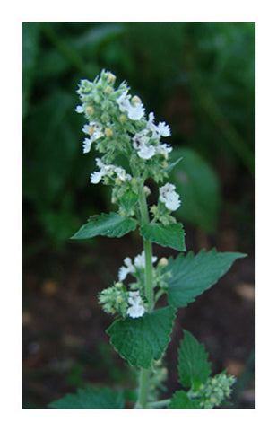Catnip leaf & flower 2 oz. Bulk Herb