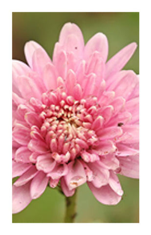 Chrysanthemum flower 2 oz. Bulk Herb