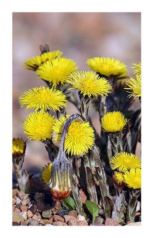 Coltsfoot 2 oz (Bulk, Conventional)