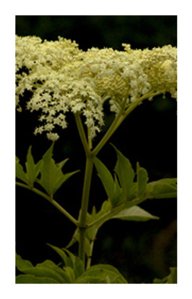 Elder flower 2 oz. Bulk Herb