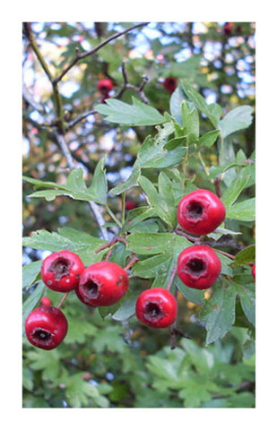 Hawthorn berry 2 oz. Bulk Herb