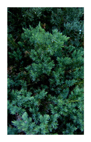 Juniper Berry 2 oz. Bulk Herb