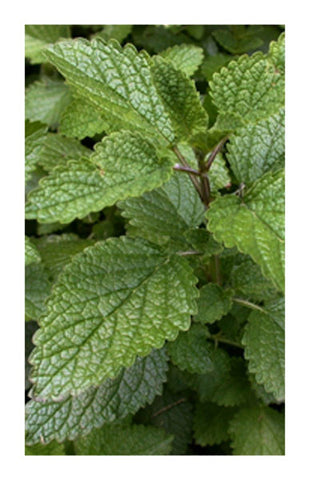 Lemon Balm herb 2 oz. Bulk Herb