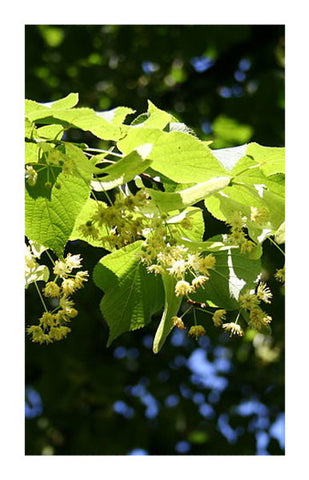 Linden flower 2 oz. Bulk Herb
