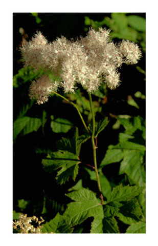 Meadowsweet Leaf & Flower 2 oz Bulk Herb