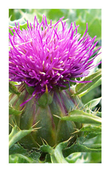 Milk Thistle seed 2 oz. Bulk Herb