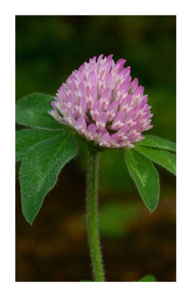 Red Clover Leaf 2 oz. Bulk Herb