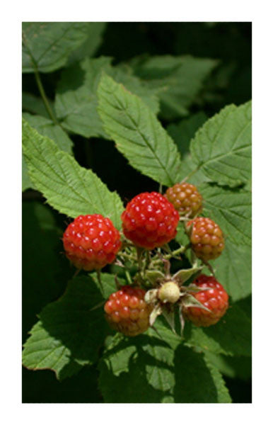 Red Raspberry leaf 2 oz. Bulk Herb