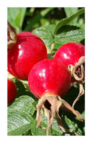 Rosehips 2 oz. Bulk Herb