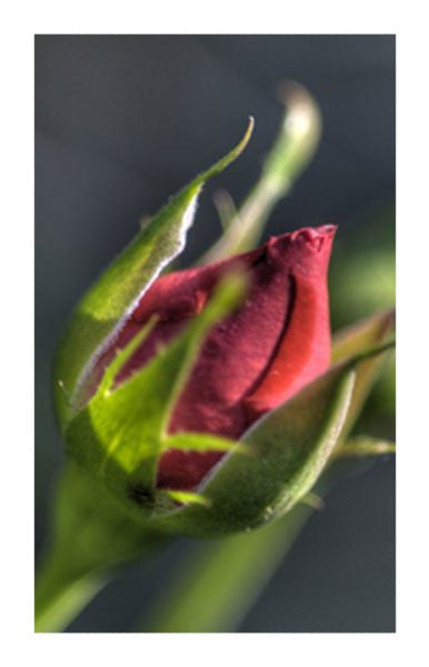 Roses, Red Blossom 2 oz. Bulk Herb