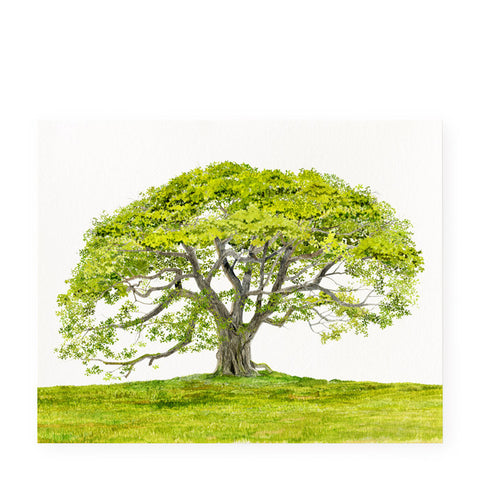 English Oak - Art Prints