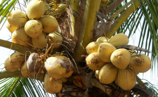 Why Coconut Milk Is a Ready Source of Energy in 3FU3L
