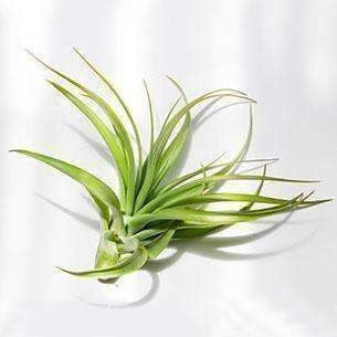 Air Plant Tillandsia Multiflora (Plant Only) - Air Plant - {{ shop_name }} - Microgarden