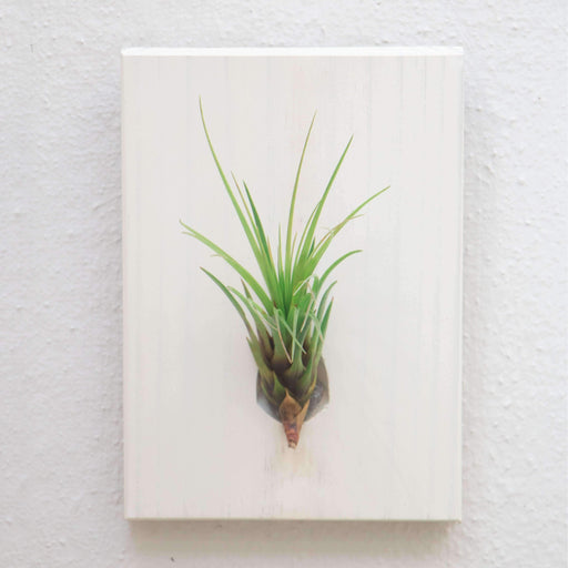 Wall Mounted In Wood Plant Melanocrater - Air Plant - {{ shop_name }} - Microgarden
