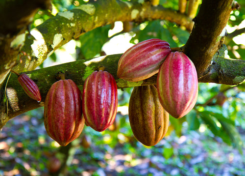 Cacao powder is grounded from cacao beans of the fruits without using heat which helps retain the nutritions