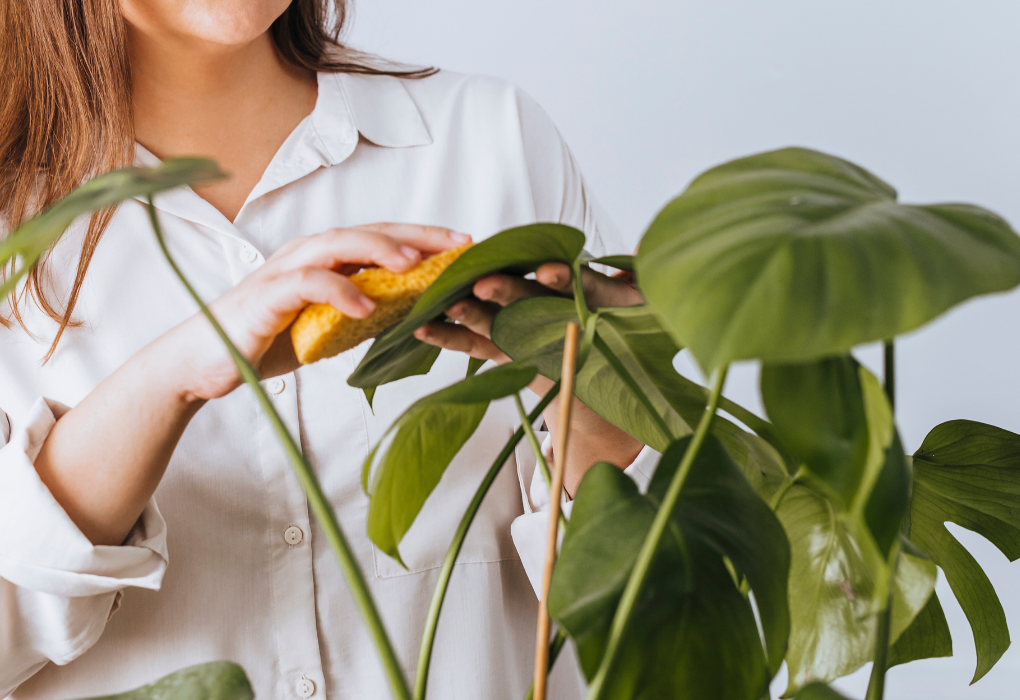 Cleaning plant leaves with cloth
