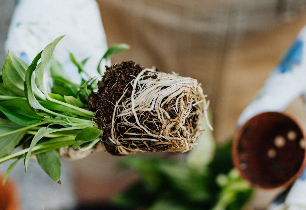 How to check for root rot and plant rootbound
