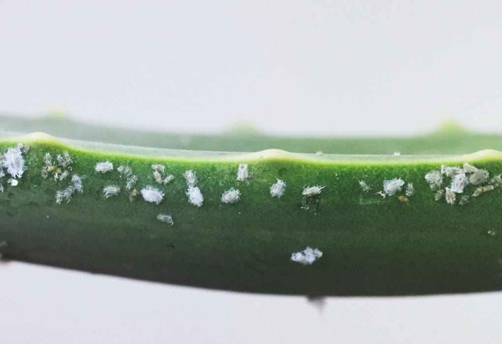 How to check for plant pest, bugs, aphids, mealybugs
