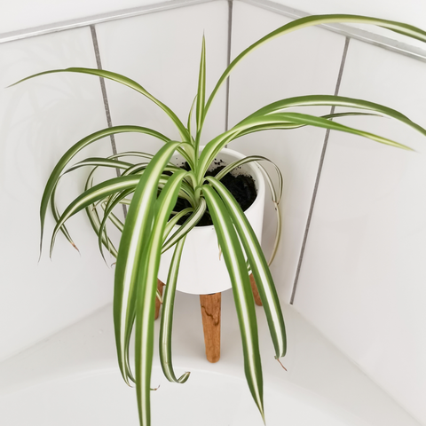 Spider plant, Low light bathroom plant