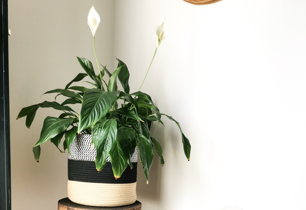 Peace lily plant in an indoor plant pot basket