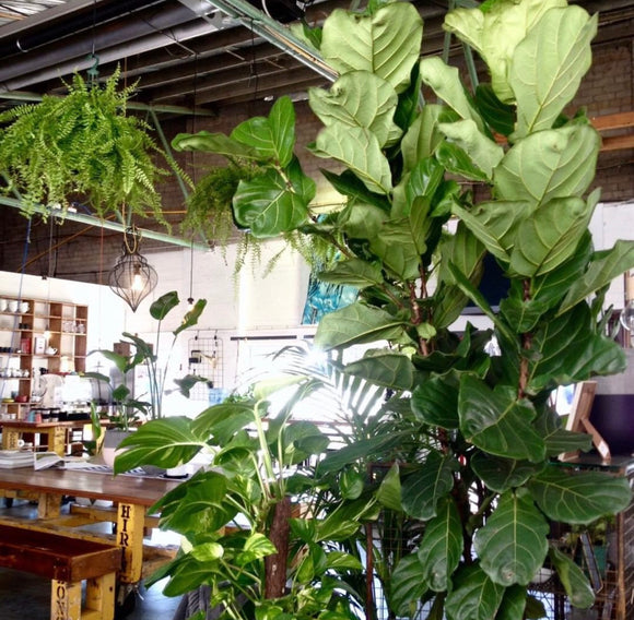 PRE ORDER - Fiddle leaf Fig