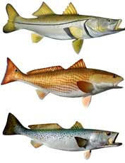 Snook, Redfish and Speckled Trout Ruler Pro - Decal