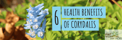 6 Health Benefits of Corydalis