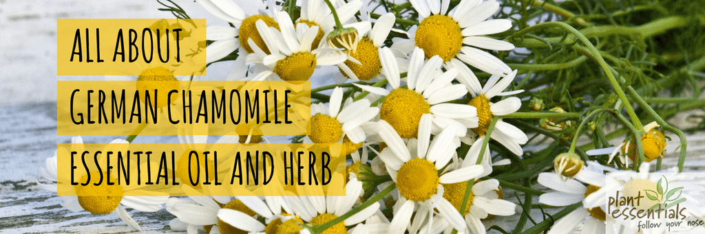 All about German Chamomile Essential Oil And Herb