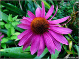 Health Benefits And Uses Of Echinacea Herb