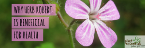 Why Herb Robert Is Beneficial For Health