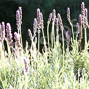 Lavender, French ~ Eden Seed Packet