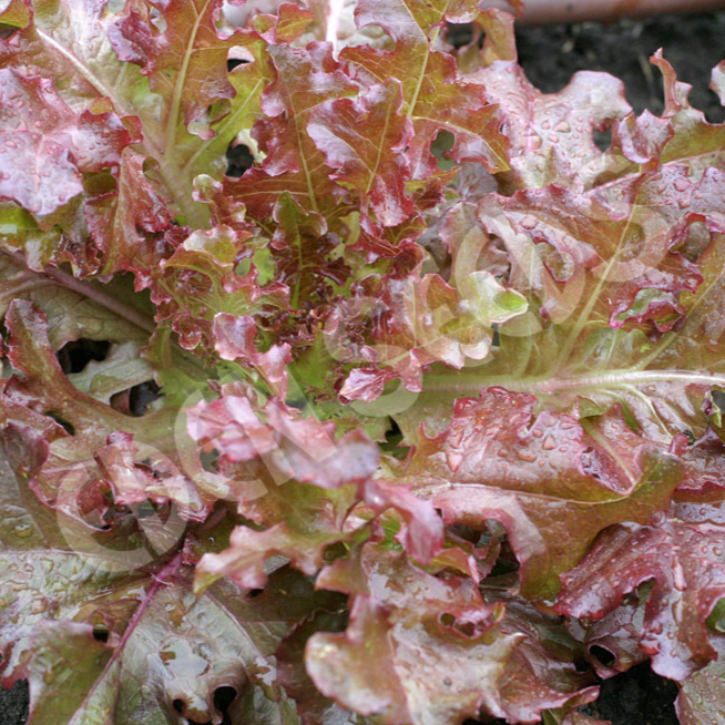 Lettuce, Salad Bowl Red ~ Eden Seed Packet