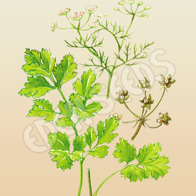 Coriander ~ Select Organics Seed Packet