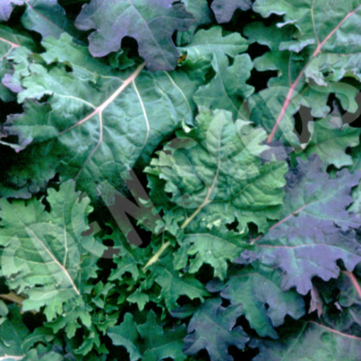 Kale, Red Russian ~ Select Organics Seed Packet