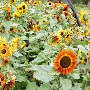 Sunflower, Evening Sun ~ Select Organics Seed Packet