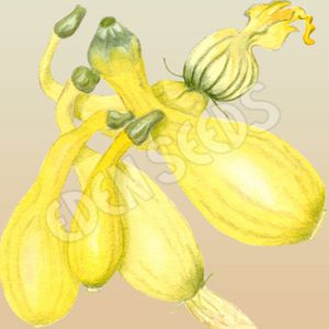 Zucchini, Golden Arch ~ Select Organics Seed Packet