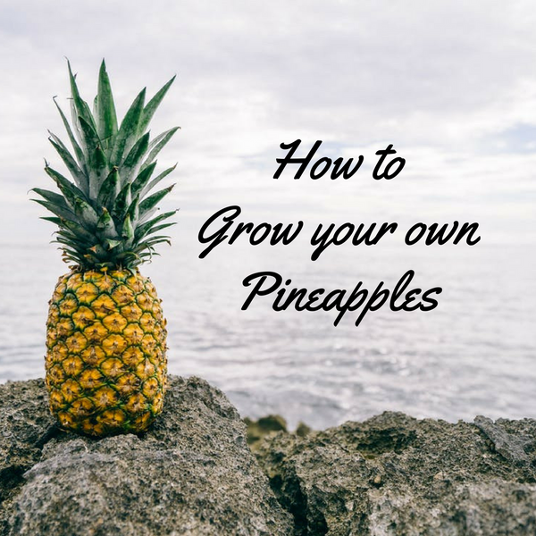 SWEETEN UP YOUR LIFE:  How to Grow Your Own Organic Pineapples