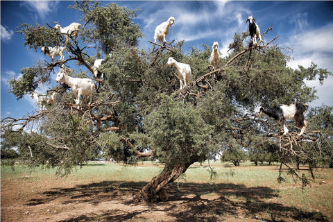 Argan Tree envaded by goats