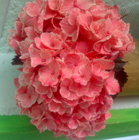 Wholesale Fresh Pink Bulk Hydrangeas
